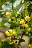 White currant. Garden berry. Stock Photos