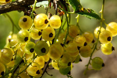 White currant. Garden berry. Royalty Free Stock Photos