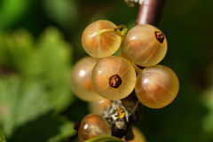 White currant. Garden berry. Stock Photo