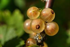 White currant. Garden berry. Stock Photo