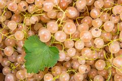 White currant with green leaf as background. Close up view of harvested white currant berry with green leaf as background Royalty Free Stock Image