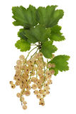 White currant real isolated Stock Photo