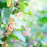 White currant. Stock Images