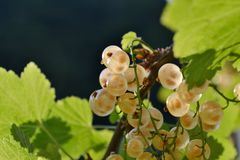 White currant ripe fruits in transparent view growing on the branch brightly illuminated under the sun. Close-up view to white currant ripe fruits in stock image