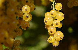 White currant. Riped white currant in garden Stock Image