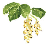 White currant watercolor Stock Images