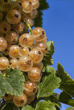 White Currants Stock Photos