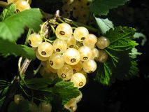 White currants. Tasty currants in the garden, on the currant bush Royalty Free Stock Photography