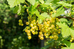 White currants on a blurred background of garden Royalty Free Stock Photo