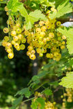 White currants on a blurred background of garden Stock Photo