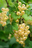 White currants. Clusters of white currants on a background of foliage Royalty Free Stock Photography