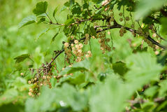 White currants. Hanging on bush Stock Photography