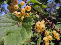 White currants Royalty Free Stock Photos
