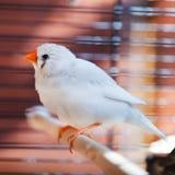 White Cut-throat Finch bird Stock Photo