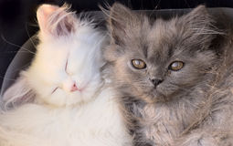White cute adorable kittens cats macro. Closeup Royalty Free Stock Photo