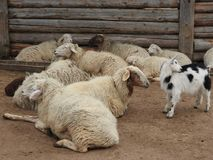 White and cute baby goats in a barn. Little goats in the hay stock photography