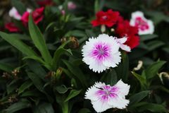 White Cute dianthus Japonicus flower, sweet-william, Dianthus barbatus. In Bangladeshi Flower Garden. But Dianthus Japonicus Cute flowers originated from japan Royalty Free Stock Images