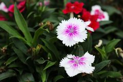 White Cute dianthus Japonicus flower, sweet-william, Dianthus barbatus. In Bangladeshi Flower Garden. But Dianthus Japonicus Cute flowers originated from japan Royalty Free Stock Image