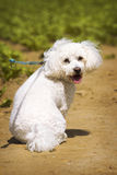 White cute dog on the path Stock Photos