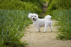 White cute dog on the path Royalty Free Stock Image