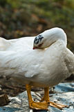 White cute domestic muscovy duck in garden cleaning himself Royalty Free Stock Photos