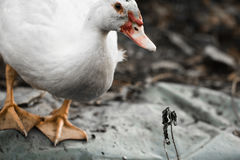 White cute domestic muscovy duck in garden Royalty Free Stock Photography