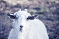 White cute goat front view Stock Image