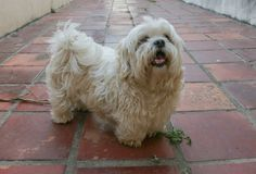 Cute white Lhasa Apso dog posing for the camera at home Stock Photos