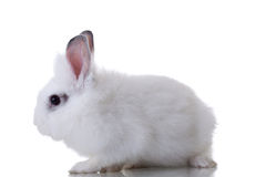 White cute rabbit Royalty Free Stock Photography