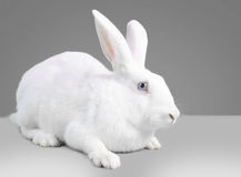 White cute rabbit Royalty Free Stock Photo