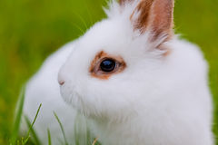 White cute rabbit on green background Stock Image