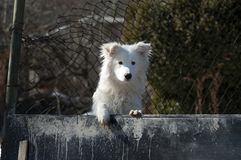White cute watchdog Royalty Free Stock Image