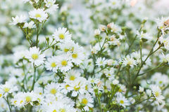 White cutter flower Stock Photography