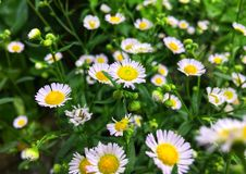 White cutter flower/aster ericoides flower with raindrop on pollen stock image