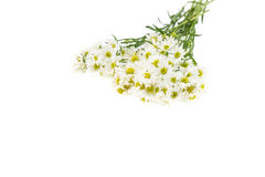 White cutter flower isolate on white Royalty Free Stock Photo
