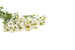 White cutter flower, Name of Science Aster sp.White Background Stock Images