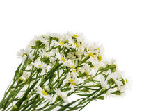 White cutter flower, Name of Science Aster sp.White Background Royalty Free Stock Photos