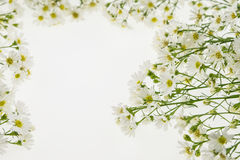 White cutter flower, Name of Science Aster sp.White Background Stock Image