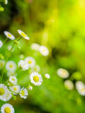 White cutter flowers in fresh garden Stock Image