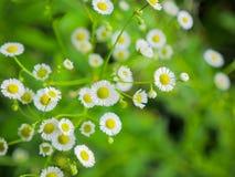 White cutter flowers in fresh garden Stock Photos