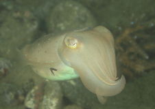 White cuttlefish Stock Photo