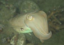 White cuttlefish Stock Photo