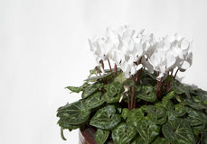 White cyclamen Royalty Free Stock Photo