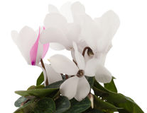 White cyclamen Royalty Free Stock Image