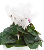 White cyclamen Stock Photography