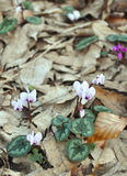 White cyclamen Stock Image