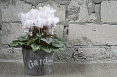 White cyclamen in a flower pot Stock Images
