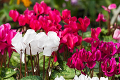 White cyclamen flowers Stock Photos