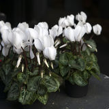 White cyclamens. In bowl on barrel as a decoration near stone wall Royalty Free Stock Photo