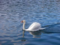 White amazing Cygnini sail at the water. White Cygnini sail at the lucid water, leave behind him a trail. It looks so royal with his wings royalty free stock photos